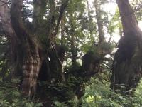 最大洞杉の幹
